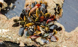 Offshore mussels from Brussels